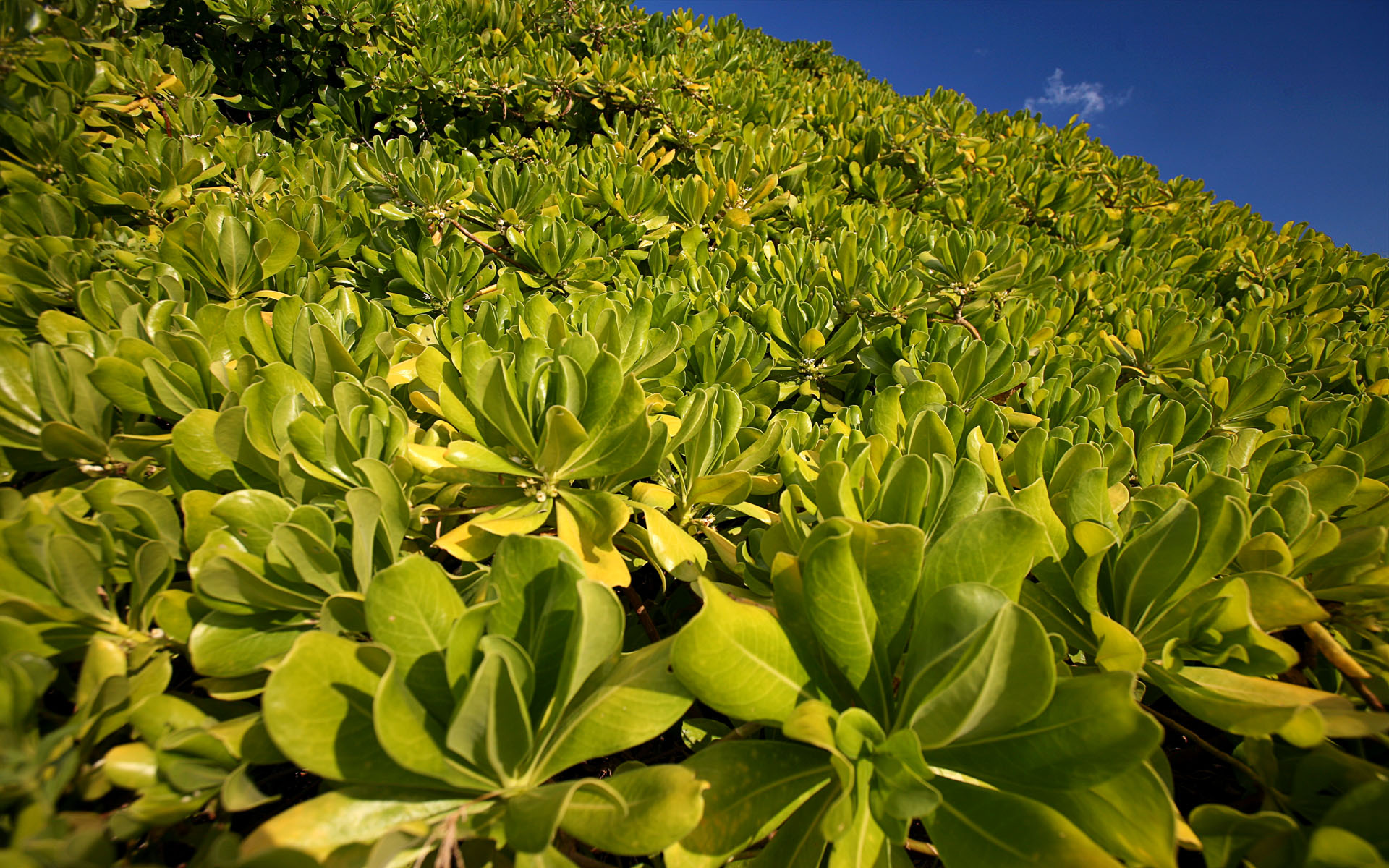 海岸植物 (Coastal plant at Green Island)